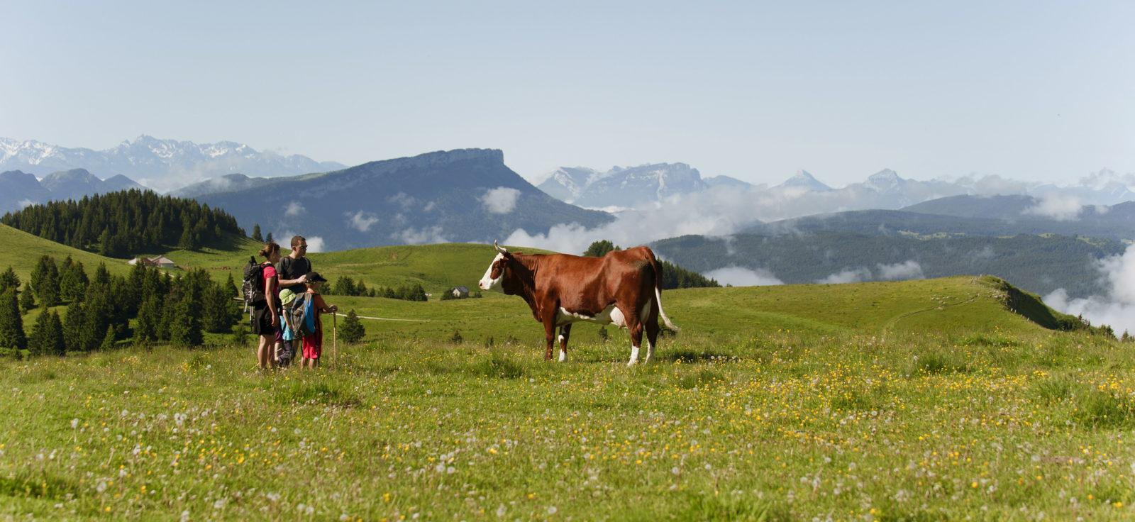 De la production du lait à l'affinage, la Raclette de Savoie est produite sur un territoire délimité autour des deux Savoie