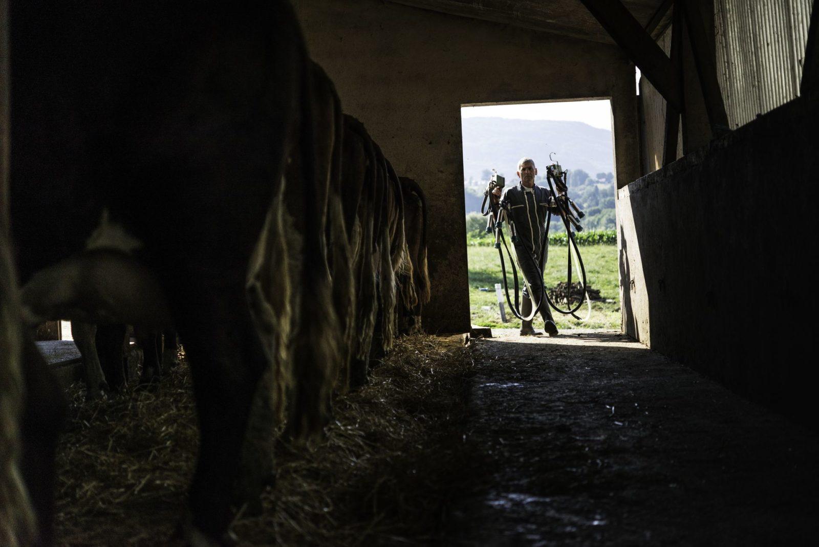 Le lait est collecté quotidiennement pour être amené à la fromagerie le plus rapidement possible
