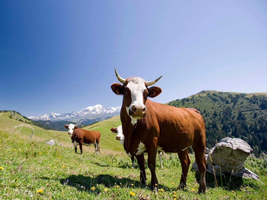 Vache de race Abondance pour la Raclette de Savoie IGP