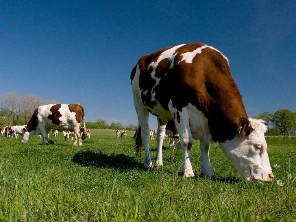 Vache de race Montbéliarde pour la Raclette de Savoie IGP